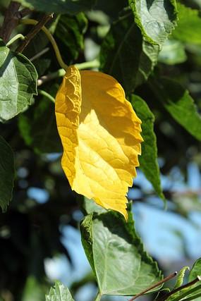 阳光下之绿叶前的黄叶
