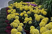 一片黄色的菊花