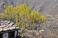 春天里的绿树农家石板房