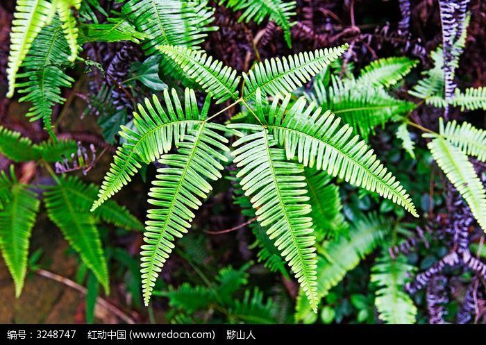 蕨类植物图片,高清大图