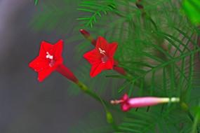 两朵小喇叭花