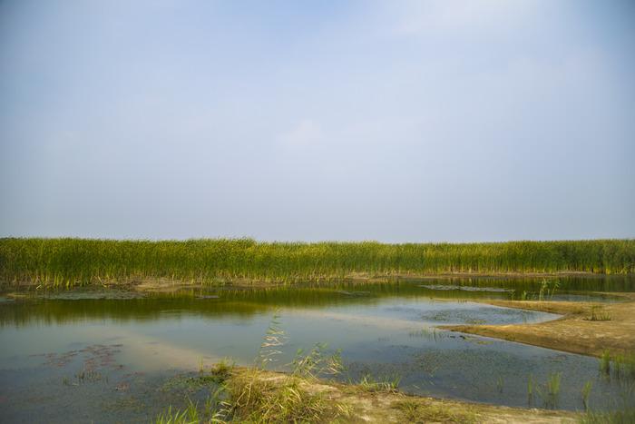 素材 芦苇/芦苇芦苇塘 湿地水生植物 沼泽