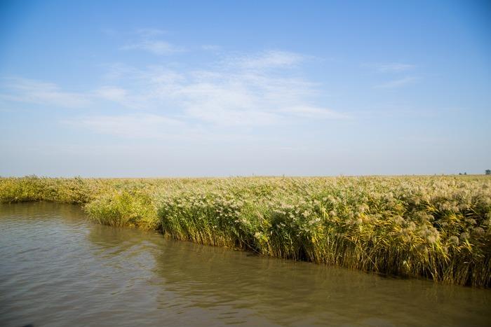 素材 芦苇/芦苇芦苇塘 湿地水生植物 沼泽湖泊