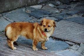 眯着眼的黄色小狗