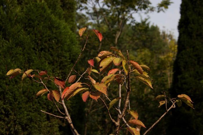 秋风中的彩色樱桃树叶子高清图片下载 编号3234353 红动网图片