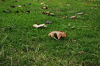 散落在绿色草地上的梧桐树叶