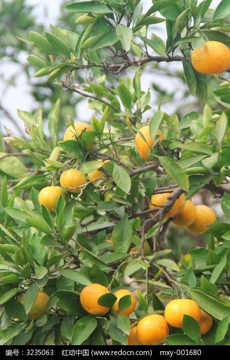 原创摄影图 动物植物 树木枝叶 橘色的橙子