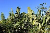 树丛中的芭蕉叶