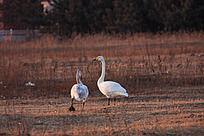 夕阳下田野中觅食的天鹅母子