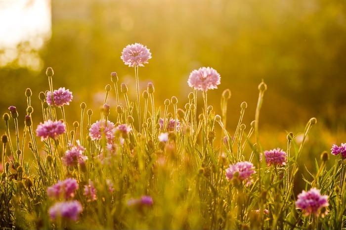 原创摄影图 动物植物 花卉花草 阳光下的矢车菊