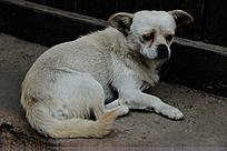 一只愁眉苦脸的白色小狗