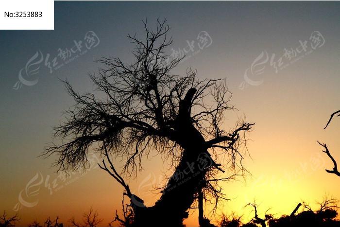 黄昏中的胡杨树剪影图片,高清大图_森林树林素材