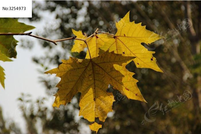 黄色片和动物干_原创摄影图 动物植物 树木枝叶 两片黄色的梧桐树叶
