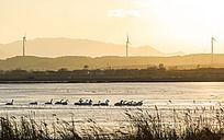 天鹅湖畔的夕阳与水中的天鹅