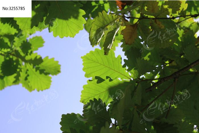 橡树图片,高清大图_树木枝叶素材