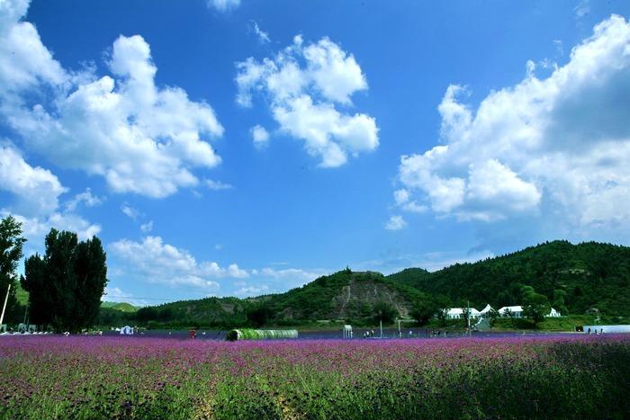 薰衣草上空的蓝天白云图片