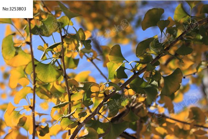 银杏 银杏树