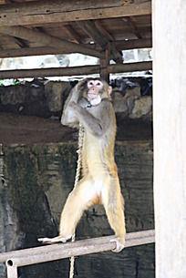 猴子表演敬礼