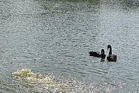 湖中黑天鹅