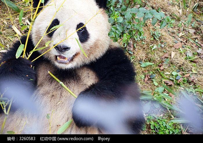 萌萌的大熊猫图片
