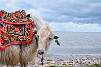 青海湖边的白牦牛
