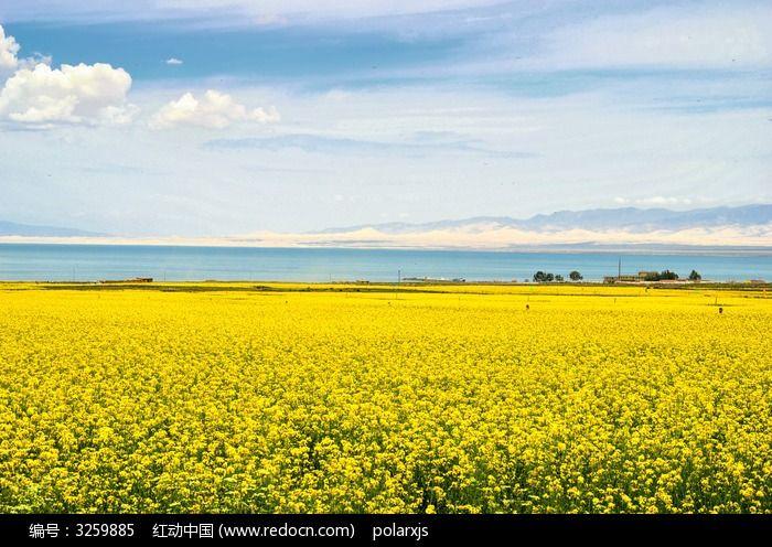 青海湖边的油菜花图片