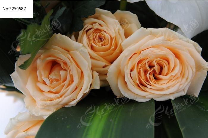 三朵绽放的玫瑰花图片
