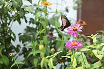 红花上飞舞的花蝴蝶