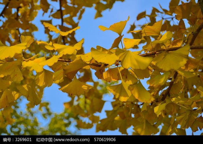 树叶图片 银杏 金黄