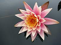 盛开的粉色莲花特写