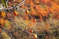 柿子树上的柿子熟了