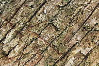 树木之表皮