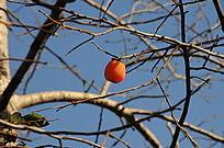 一个柿子独挂枝头