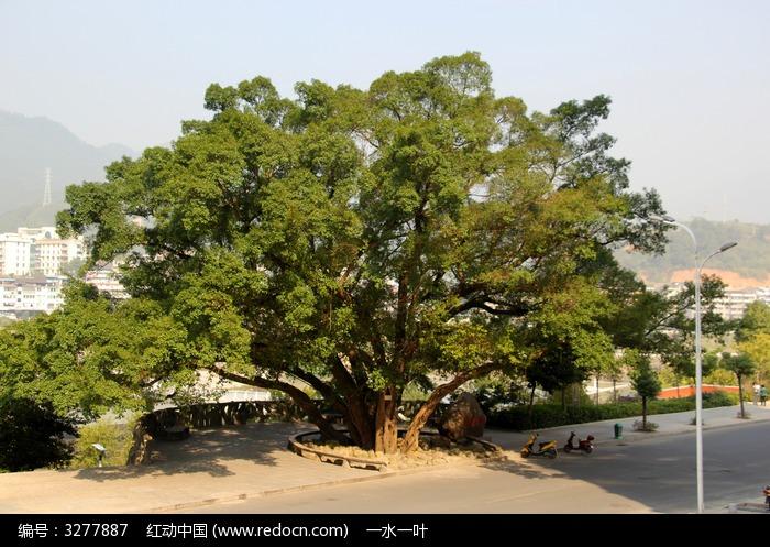 一颗大树图片,高清大图_树木枝叶素材