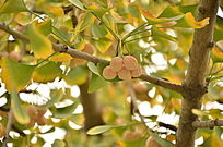 银杏树果实图片