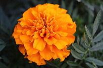 富贵的橘黄花卉特写