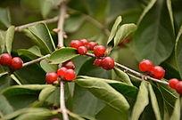 金银忍冬红色的果实