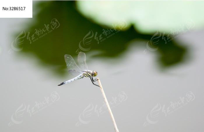 原创摄影图 动物植物 昆虫世界 芦苇杆上的蜻蜓
