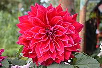 一朵红色漂亮的大丽花