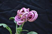 一朵看上去小巧玲珑的红色的菊花