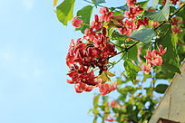 红色五瓣花