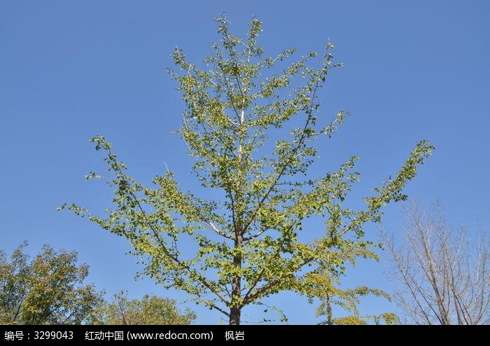 原创摄影图 动物植物 树木枝叶 银杏树枝叶  请您分享: 红动网提供