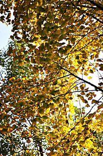 黄色的银杏叶