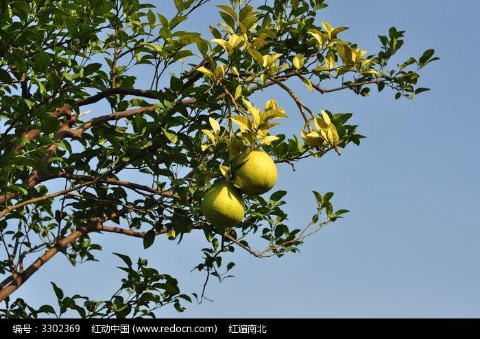 原创摄影图 动物植物 树木枝叶 柚子树  请您分享: 红动网提供树木