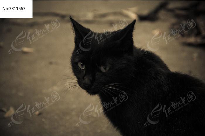 黑猫图片,高清大图_陆地动物素材