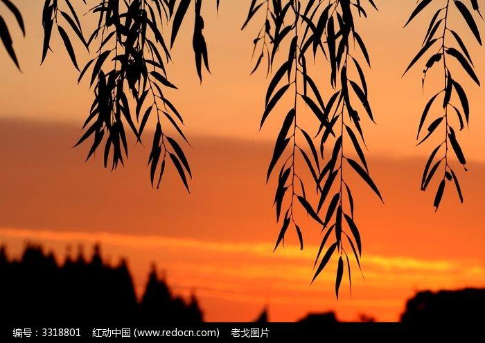 红霞中的柳叶图片图片