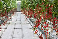 蔬菜大棚科技种植的小西红柿