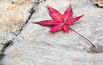 秋天落在地面上的一片红色枫叶 小清新背景素材