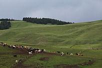 山坡牛羊群