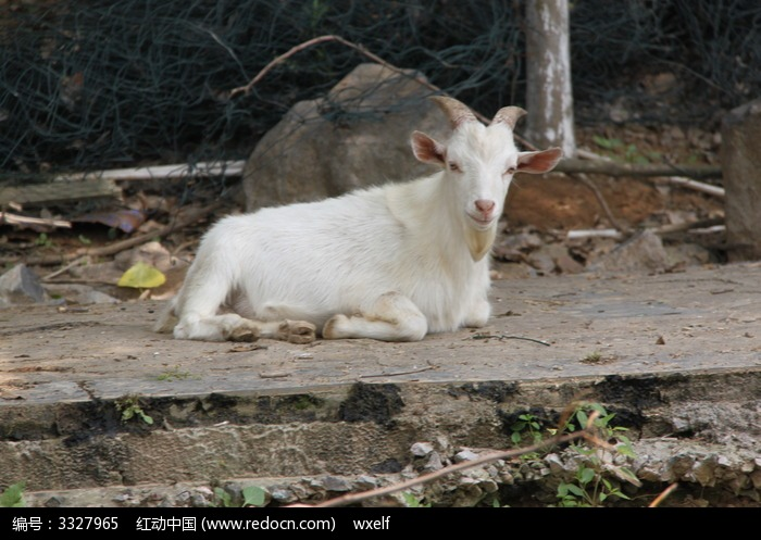 白色的山羊 畜牧业图片,高清大图_陆地动物素材